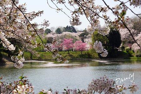 三ッ池公園の桜 22