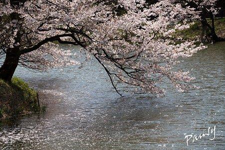 三ッ池公園の桜 23