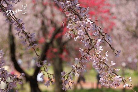 三ッ池公園の桜 37