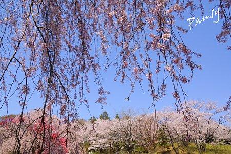 三ッ池公園の桜 38