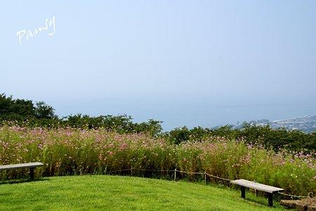 コスモスの向こうに見える・・相模湾・・コスモス畑・・11