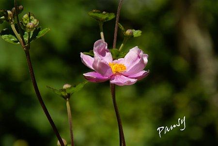 秋明菊 pink..
