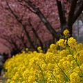 Photos: 菜の花と桜!(120319)