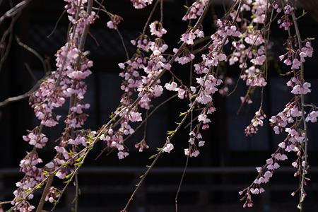 春、シダレザクラ咲く!