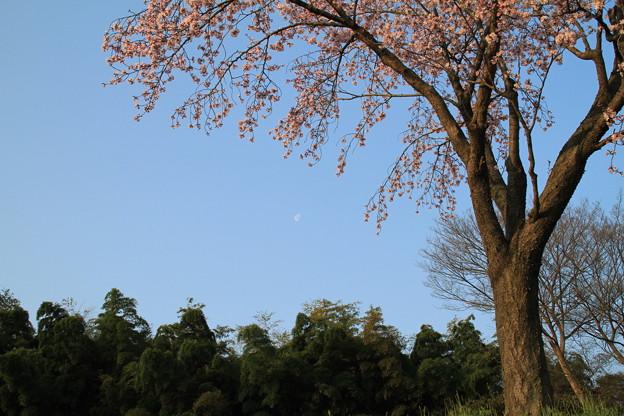 Photos: 後楽園の桜