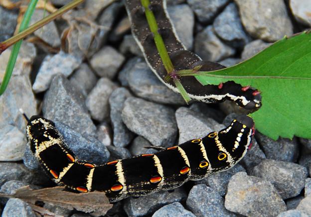 セスジスズメ 20100825 幼虫