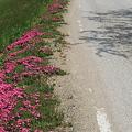 110520-79芝桜