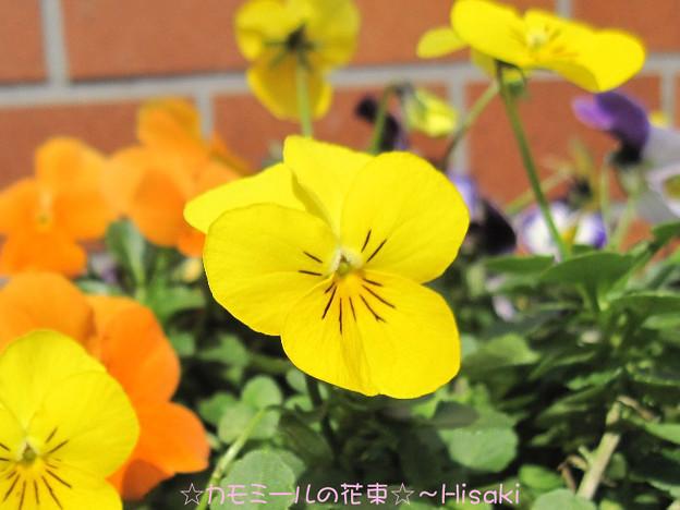 花ざかりビオラ ゴールド