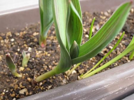 4月10日原種系チューリップのつぼみ