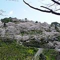 日輪寺の桜(2)