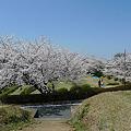 一本松公園の桜(2)