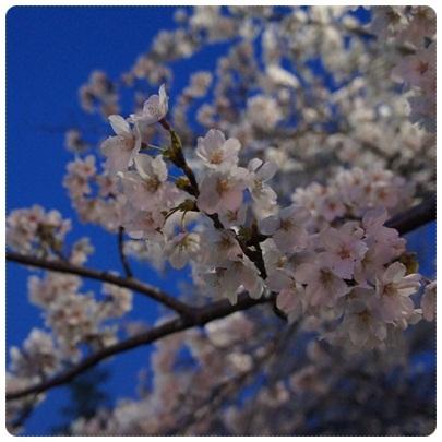 20120408 夜桜