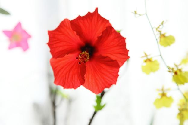 窓辺のハイビスカス・レッドスター(赤い星)