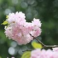 八重桜 楊貴妃