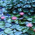 睡蓮(2) 草津市立水生植物公園みずの森