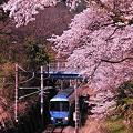 Photos: ダイヤ改正後登場の小田急MSEあさぎり号・・桜のトンネルへ