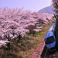 Photos: 山北の桜トンネルを走行する小田急MSEあさぎり号・・