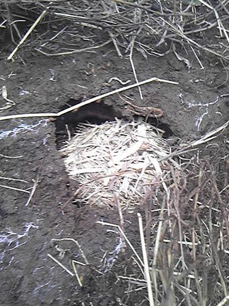 モグラの画像 p1_35