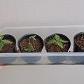 Photos: 軸切り挿し芽の鉢